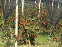Apple orchard. With red ripe apples on the trees Stock Photos