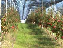 Apple orchard. With red ripe apples on the trees Stock Images