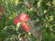 Apple orchard with red ripe apples Royalty Free Stock Photos