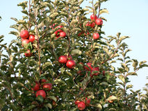 Apple orchard with red ripe apples Royalty Free Stock Photography