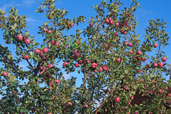 Apple orchard with red ripe fruits Stock Image