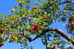 Apple orchard with ripe apples royalty free stock photography