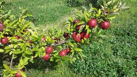 Apple orchard. Ripe apples in the orchard - Mississauga Ontario Stock Image