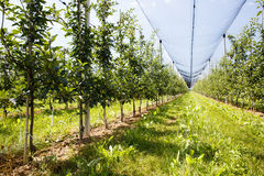 Apple orchard with ripened apples growing on trees. In agricultural plantation, in summer sun with anti-hail netting for protection against weather factors Stock Images