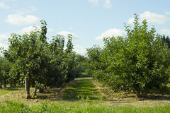 Apple Orchard row Royalty Free Stock Image