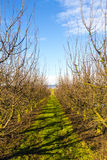 Apple Orchard Rows Royalty Free Stock Photos