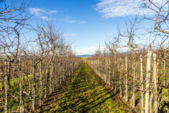Apple Orchard Rows Stock Photo