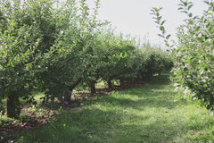 Apple Orchard Rows Royalty Free Stock Image
