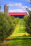 Apple orchard. Rows of apple trees at an orchard in Central Kentucky in fall Stock Image