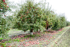 Apple orchard. Rows of trees and the fruit of the ground under the trees Stock Photos