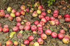 Apple orchard. Rows of trees and the fruit of the ground under t. He trees Royalty Free Stock Photo