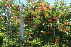 Apple orchard with several fruit hanging from branches Royalty Free Stock Images
