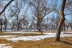 Apple orchard in spring. The snow is melting slowly.The sun brings back to life the fresh green grass.Beautiful clean blue sky Stock Photography
