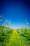Apple orchard in spring. Royalty Free Stock Photography