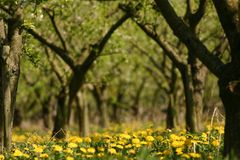 Apple orchard in spring. An apple orchard in spring with lots of yellow dandelions Stock Photo