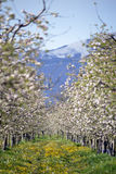 Apple orchard in spring against snow mountain Stock Photos
