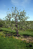 Apple orchard in Spring. Berkshires, MA Stock Images