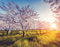 Apple orchard in spring. Blossoming apple orchard in spring and blue sky. Retro style filter. Instagram toning effect. Ukraine, Europe. Beauty world. Tilt shift Royalty Free Stock Photos