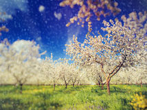 Apple orchard in spring. Blossoming apple orchard in spring and blue sky. Retro filtered. Instagram effect. Ukraine, Europe. Beauty world. Tilt Shift blur effect Stock Photos