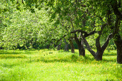 Apple orchard in spring Stock Photo