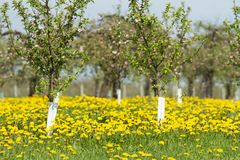 Apple orchard in spring 5. Flowering white apple trees in the orchard planted with yellow dandelions Royalty Free Stock Images