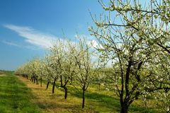 Apple orchard in spring 3. Flowering white apple trees in the orchard planted with yellow dandelions Stock Photography
