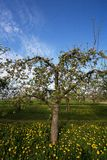Apple orchard in spring. Flowering white apple trees in the orchard planted with yellow dandelions Stock Image