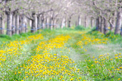 Apple Orchard in spring. Image of an Apple Orchard in spring Stock Photos