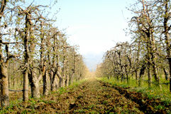 Apple Orchard in spring. Image of an Apple Orchard in spring Royalty Free Stock Images
