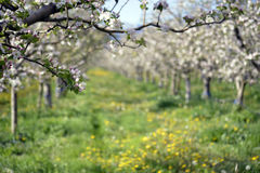 Apple orchard in spring Stock Images
