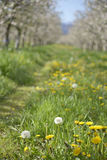 Apple orchard in spring. Pic of an Apple orchaRD Royalty Free Stock Image