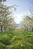 Apple orchard in spring. Pic of an Apple orchaRD Royalty Free Stock Photo