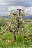 Apple orchard in spring Royalty Free Stock Photo