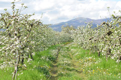 Apple orchard in spring. Pic of an Apple orchaRD Stock Photography