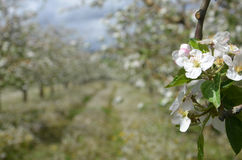 Apple orchard in spring. Pic of an Apple orchaRD Stock Photos