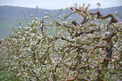 Apple orchard in spring. Pic of an Apple orchaRD Royalty Free Stock Photography