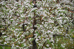 Apple orchard in spring. Pic of an Apple orchaRD Stock Images