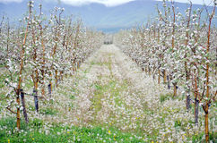 Apple orchard in spring. Pic of an Apple orchaRD Stock Photo