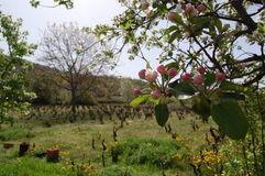 Apple orchard in spring. Picture of an apple orchard in spring Stock Photos