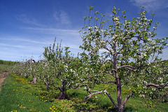 Apple orchard in Spring. Row of trees in apple orchard in Spring, Berkshires Massachusetts Royalty Free Stock Photo