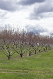 Apple Orchard Spring. Rows of apple trees blooming on a countryside orchard during springtime Stock Image