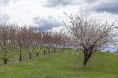 Apple Orchard Spring. Rows of apple trees blooming on a countryside orchard during springtime Royalty Free Stock Images