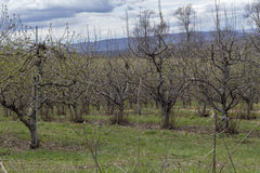 Apple Orchard Spring Royalty Free Stock Photo