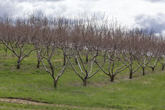 Apple Orchard Spring Stock Photos