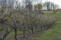 Apple Orchard Spring Stock Images