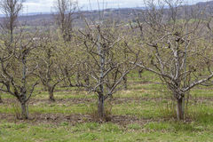 Apple Orchard Spring. Rows of apple trees blooming on a countryside orchard during springtime Stock Photography