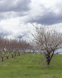 Apple Orchard Spring. Rows of apple trees blooming on a countryside orchard during springtime Royalty Free Stock Photos