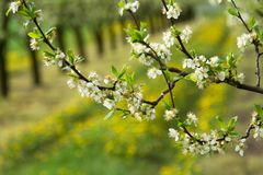 Apple orchard in spring. Sprinkled with white flowers apple tree branches in spring orchard Royalty Free Stock Photography