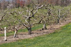 Apple Orchard in Spring. The tortuous limbs and branches of apple trees in spring can be seen as leaves are beginning to sprout Stock Photo