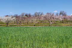 Apple Orchard in Spring. Apple tree orchard with pink and white blossoms in early spring with a sea of green grass in the foreground Stock Photos